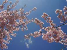 Japanische Blütenkirsche - Prunus serrulata