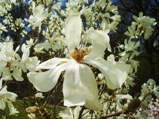 Stern-Magnolie - Magnolia stellata