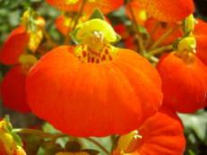 Pantoffelblume - Calceolaria hybrida 'Calynopsis Orange'