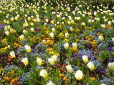 Tulpen im Luisenpark - Tulipa 'Sweet Heart'