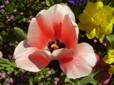 Darwin-Hybrid-Tulpe - Tulipa 'Salmon Impression'