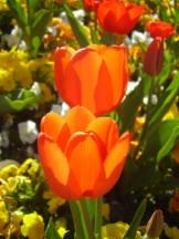 Tulpen im Mittagslicht II
