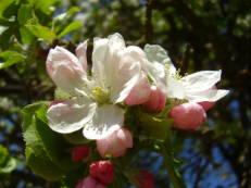 Apfelblüte - Malus species