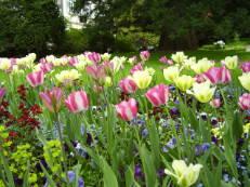Tulpen im Hermannshof Weinheim