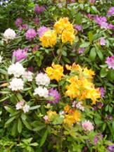 Rhododendren - Rhododendron species