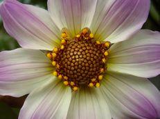 Mignon-Dahlie - Dahlia x hortensis mignon