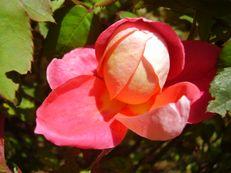 Rose 'Rotkäppchen' - Rosa species