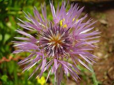 Flockenblume - Centaurea species