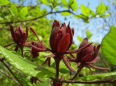 Echter Gewürzstrauch - Calycanthus floridus