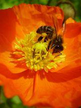 Biene auf Island-Mohn
