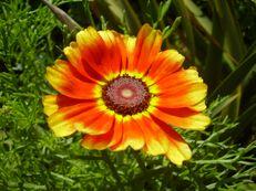 Bunte Wucherblume - Chrysanthemum carinatum