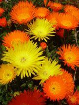 Mittagsblumen - Mesembryanthemum glaucoides