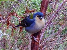 Madeira-Buchfink - Fringilla coelebs maderensis