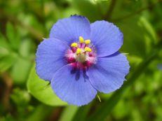 Blauer Acker-Gauchheil - Anagallis arvensis f. azurea