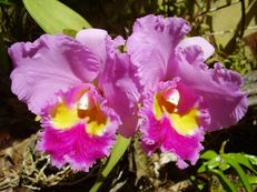 Vorschau: P5020162_Cattleya-Orchidee__Cattleya_species_g