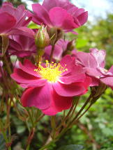 Rose im Roseiral, Madeira
