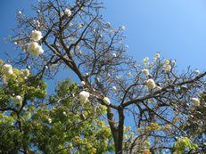 Kapokbaum - Ceiba pentandra