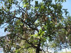 Leberwurstbaum - Kigelia africana