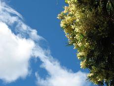 Silber-Akazie (Falsche Mimose) - Acacia dealbata