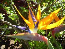 Paradiesvogelblume (Königs-Strelitzie) - Strelitzia reginae