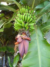 Bananenfruchtstand - Musa x paradisiaca