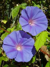 Vorschau: P4040075_Prunkwinde__Ipomoea_indica_Blue_Morning_Glory_g