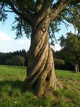 Birnbaum auf Kohlhofwiese