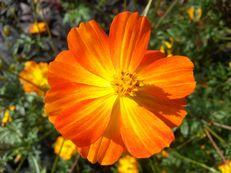 Gelbe Kosmee - Cosmos sulphureus 'Crest Orange'