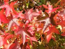Laub des Amberbaumes - Liquidambar styraciflua
