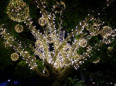 Ficus illuminatus