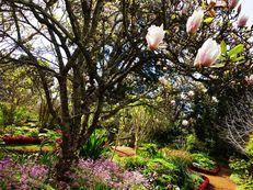 Magnolie in Palheiro Gardens