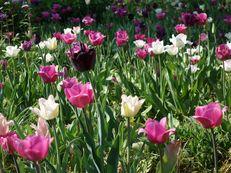 Tulpenwiese im Hermannshof Weinheim