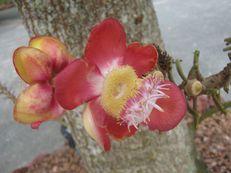 Kanonenkugelbaumblüte - Couroupita guianensis