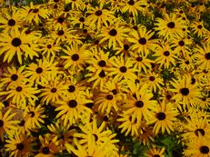 Gewöhnlicher Sonnenhut - Rudbeckia fulgida