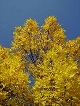 Esche im Herbst