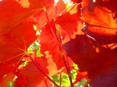Rotes Weinlaub - Vitis vinifera