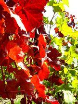 Weinlaub im September