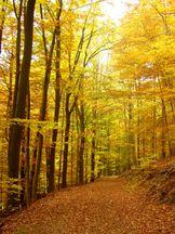 Herbstweg unter Rotbuchen