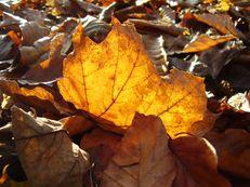 Ahornblatt im Herbstlicht